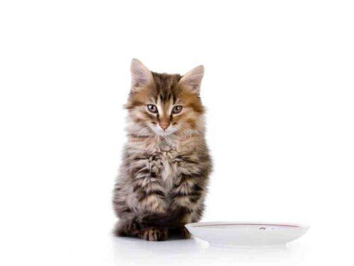 Was frisst ein Kätzchen?