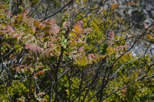 Sumak Curriera (Rhus coriaria)
